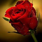 rózsa.jpg