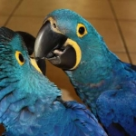 5647075_2_644x461_elado-afrikai-szurke-papagaj-jako-jacint-ara-papagaj-tolts-fel-fenykepeket.jpg