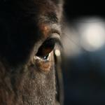 Ló szem.jpg