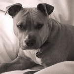 American-pitbull-Terrier-HD-Wallpapers 03[1].jpg