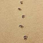 """kenguru lábnyomok a """"Óceán""""nál"""
