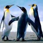 pingvinek :)