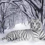 tigris1.jpg