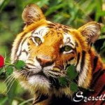 tigris4.jpg