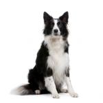 Border-Collie-dogz-16310321-347-346.jpg
