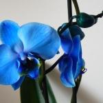 kék orchidea.jpg