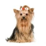 yorkshire-terrier-17.jpg