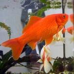 260px-Goldfish3.jpg