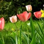tulipanok.jpg