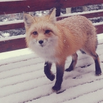animal-cute-fox-snow-winter-Favim.com-45925.jpg