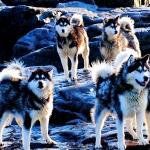 Huskies-dogs-high-definition-wallpapers-cool-widescreen-desktop-images.jpg