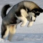 siberian-husky-puppy-wallpaper-2560x1600.jpg