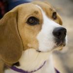 Beagle_portrait_Camry.jpg