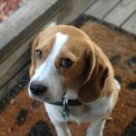 beagle-wallpaper-2.jpg