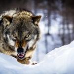 Angry-Wolf.jpg