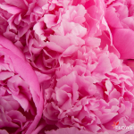 pink-peony-wallpaper-1.jpg