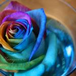 colorful-rose.jpg