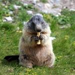 265px-Marmota_marmota_07.jpg