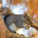 230px-Eastern_Grey_Squirrel_in_St_James's_Park,_London_-_Nov_2006_edit.jpg