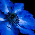 Blue flower pictures (8).jpg